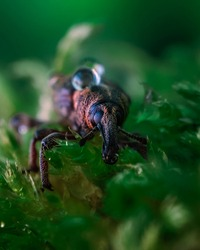 Macrophotography of a snout beetle. Bug in the moss close up. Curculionidae insect. Beautiful nature concept.