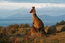 Macropus giganteus - Eastern Grey Kangaroo in Tasmania in Australia, Maria Island, Tasmania, standing on the meadow in the evening.