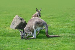 Macropus giganteus - Eastern Grey Kangaroo marsupial found in eastern third of Australia, also known as the great grey kangaroo and the forester kangaroo. Two - pair of kangaroos in the grass.