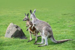 Macropus giganteus - Eastern Grey Kangaroo marsupial found in eastern third of Australia, also known as the great grey kangaroo and the forester kangaroo. Two - pair of kangaroos in the grass