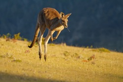 Macropus giganteus - Eastern Grey Kangaroo marsupial found in eastern third of Australia, with a population of several million. It is also known as the great grey kangaroo and the forester kangaroo.