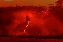 Macropus giganteus - Eastern Grey Kangaroo, standing close to the fire in Australia. Burning forest in Australia.
