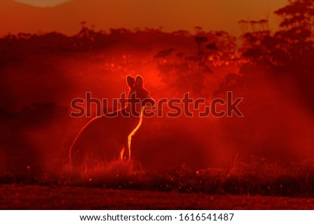 Macropus giganteus - Eastern Grey Kangaroo, standing close to the fire in Australia. Burning forest in Australia.