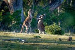 Macropus giganteus - Eastern Grey Kangaroos fighting with each other in Tasmania in Australia.