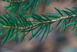 Macroshot From a Christmastrees branch