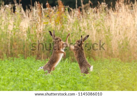 Mad hares boxing in a crop field in Norfolk UK. Pair of wild animals fighting each other by punching with thier front legs #1145086010