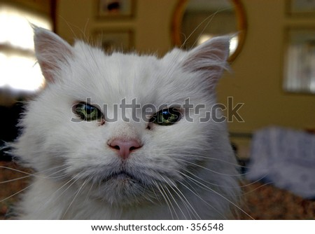 Mad, white cat face