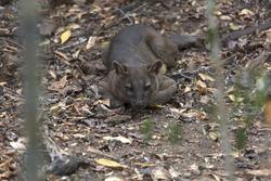 Madagascar, animals, Fossa