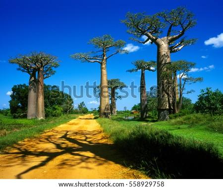 Madagascar - Baobab Avenue