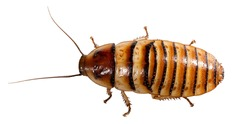 Madagascar Cockroach isolated on the white background
