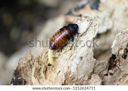 Madagascar cockroach on old wood #1252624711