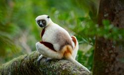 Madagascar: Coquerel's Sifaka (Lemur) in the Andasibe-Mantadia National Park