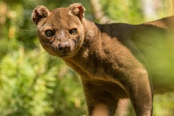Madagascar Fossa cat walks through the forest