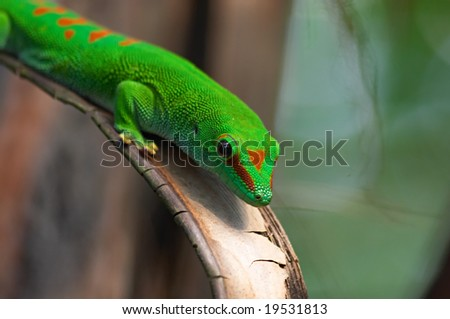Madagascar giant day gecko in Zurich Zoo
