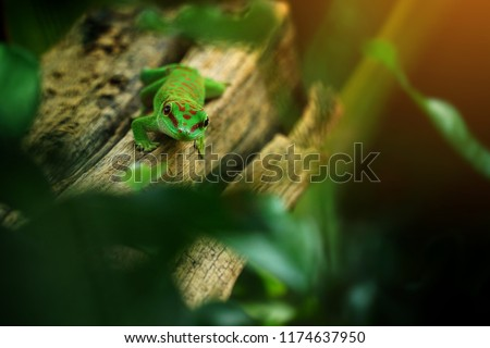 Madagascar giant Day gecko is beautiful small lizard, Day gecko have beautiful green emerald color in the Madagascar forest. Beautiful animals in the world. Selective focus and free space for text.