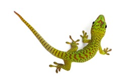 Madagascar giant day gecko view from up high, Phelsuma madagascariensis grandis, isolated on white