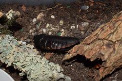Madagascar hissing cockroach (Gromphadorhina portentosa)