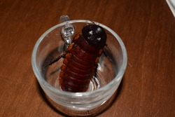 Madagascar hissing cockroach (Gromphadorhina portentosa) in a small glass cup