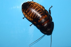 Madagascar hissing cockroach (Gromphadorhina portentosa) on a blue background
