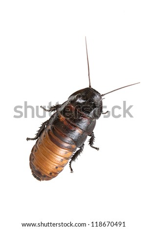 Madagascar hissing cockroach on a white background