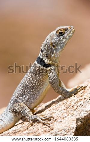 Madagascar Iguana or Madagascar swift or Merrem's Madagascar swift (Oplurus cyclurus), Madagascar