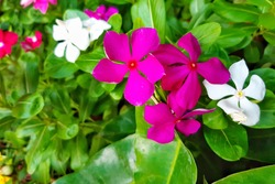 Madagascar periwinkle (Catharanthus roseus (L.) G.Don), Bringht eye, Cape periwinkle, Pinkle-pinkle, Pink periwinkle, Vinca, Cayenne jasmine, Rose periwinkle, Old maid, with pink and white flowers
