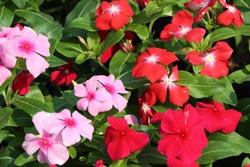 Madagascar periwinkle flower, Colorful vinca rosea flower in garden