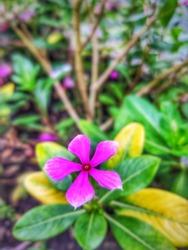 madagascar periwinkle pinkflower nature leaf
