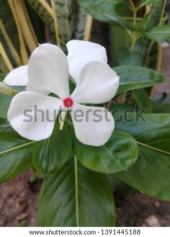 Madagascar periwinkle, rose periwinkle, or rosy periwinkle - Catharanthus roseus white #1391445188
