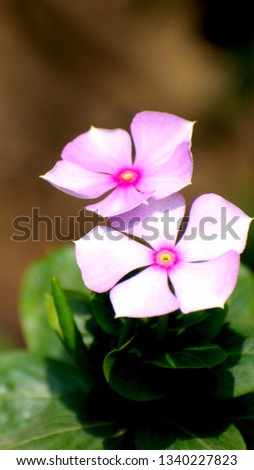 Madagascar periwinkle, rose periwinkle or rosy periwinkle flower blooming with magenta white color can be use as wallpaper, background etc. #1340227823
