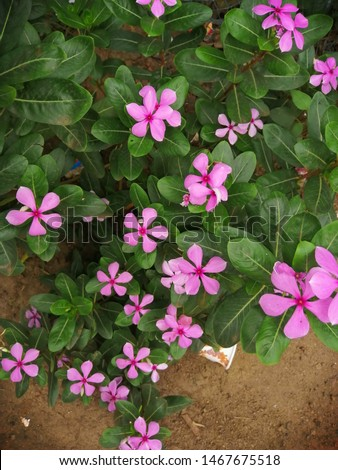 Madagascar periwinkle,rose periwinkle, orrosy periwinkle, is a species offlowering plants in the dogbane familyApocynaaceae #1467675518