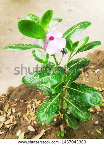 Madagascar periwinkle,rose periwinkle, orrosy periwinkle:it is flowering ,ornament or medical plant used treat cancer.Bionomial name:Catharanthus roseus #1437045383
