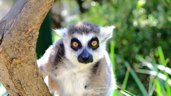 Madagascar's lemur on full alert - these cuddly little primates are very endearing and sociable.