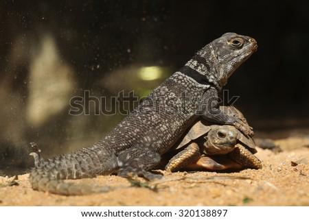 Madagascar spiny-tailed iguana (Oplurus cuvieri) and spider tortoise (Pyxis arachnoides arachnoids). Wild life animal.  #320138897