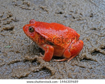 Madagascar Tomato Frog (Dyscophus antongilii), also known as Crapaud rouge de Madagascar. Endemic to Madagascar.