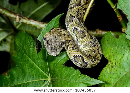 madagascar tree boa, ranomafana, madagascar - stock photo