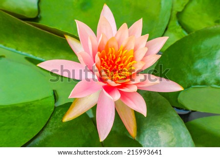 Free photos madame wilfron gonnerre red india water lily the lotus madame wilfron gonnerre red india water lily the lotus flower represents one symbol of fortune mightylinksfo