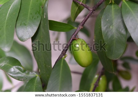 Madan or  garcinia   fruit  hanging  on branch with green leaves  , It has a sour taste
