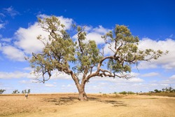 Made famous by the song Waltzing Matilda, if you've ever wondered what a coolabah tree looks like, this is it! Rural Queensland, Australia.