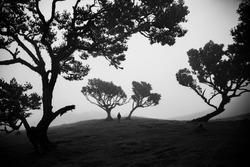 Madeira old olive forest, lonley men in fog