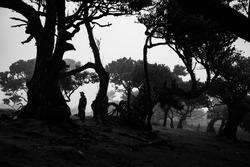 Madeira olive forest, lonley men in fog