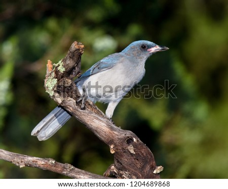 Madera Canyon, Arizona, United States - August 30, 2014,  Saturday: A Mexican Jay on a perch looking to feed at Madera Canyon. #1204689868