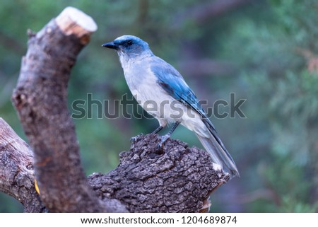 Madera Canyon, Arizona, United States - August 30, 2014,  Saturday: A Mexican Jay on a perch looking to feed at Madera Canyon. #1204689874