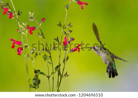 Madera Canyon, Arizona, United States - August 30, 2014,  Saturday: Female Calliope Hummingbird feeding on a flower at Madera Canyon. #1204696510