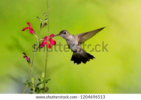 Madera Canyon, Arizona, United States - August 30, 2014,  Saturday: Female Calliope Hummingbird feeding on a flower at Madera Canyon. #1204696513