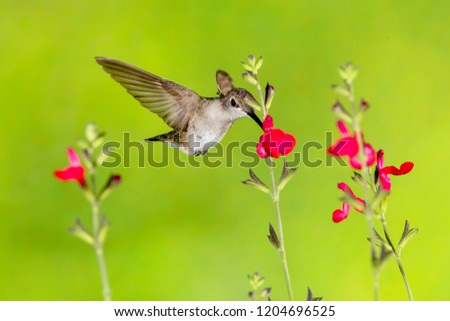 Madera Canyon, Arizona, United States - August 30, 2014,  Saturday: Female Calliope Hummingbird feeding on a flower at Madera Canyon. #1204696525