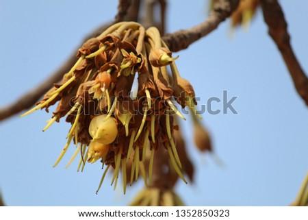 Madhuca longifolia (Indian Tropical Tree) known as Mahuwa. #1352850323