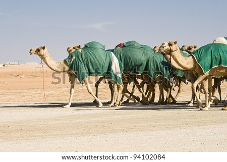 MADINAT ZAYED, WESTERN REGION, UAE - DECEMBER 23: Group of camels at Al Dhafrah Camel Festival on December 23, 2011 in Madinat Zayed, Western Region, the United Arab Emirates.