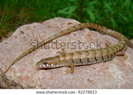 Madrean Alligator Lizard, Elgaria kingii
