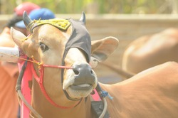 Madura cattle are ready to take part in the cattle race contest